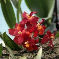 Орхидеи :: Светлана Дмитриева