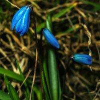 Первые цветы :: Виталий Павлов