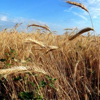 Клонит ветер тяжелые колосья... :: Лидия Бараблина