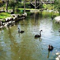 черные лебеди :: Anna Sokolovsky