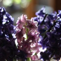 Апрельский праздник - гиацинт :: Ирина Сивовол