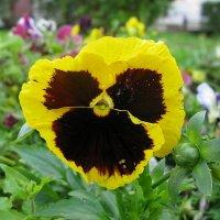 Viola tricolor 36 :: Андрей Lactarius