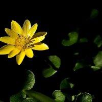 лютики-цветочки :: Александр Корчемный
