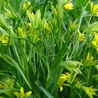 Гуси́ный лук жёлтый, или Га́гея жёлтая (лат. Gágea lútea) :: vodonos241