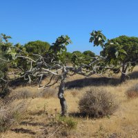 Португалия. Дикое инжирное дерево в лесу. :: Лариса (Phinikia) Двойникова