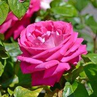 Майская роза :: Геннадий