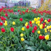 Тюльпаны :: Нина