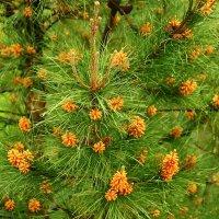 Цветущая сосна после дождя :: Светлана
