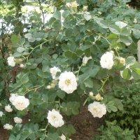 Белые розы :: Марина Чайкина