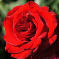 Роза. :: Татьяна Гусева
