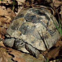 Кавказская лесная черепаха. :: Алексей Golovchenko