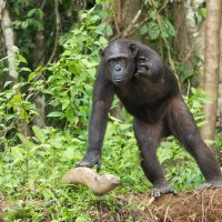 Шимпанзе :: Victoria Rogotneva