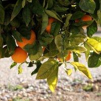 Апельсины :: Елена Олейникова