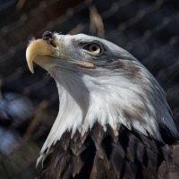 Белоголовый орлан :: Владимир Шадрин