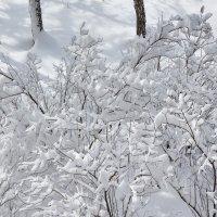 Мартовский снег на сирени :: Олег Афанасьевич Сергеев