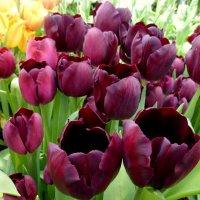 Строгие тюльпаны :: Татьяна Лобанова