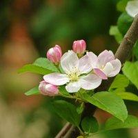 Весеннее цветение :: Светлана