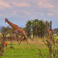 В Национальном парке Танзании :: Александр Бойченко