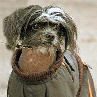 Эх-х!. Жизнь собачья..! :: barsuk lesnoi