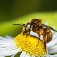 Пчелка :: Marina Khilko