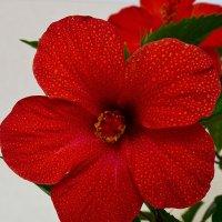 Китайская роза :: saratin sergey
