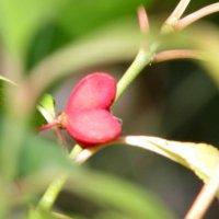 растение- сердечко :: Marina Timoveewa