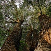 старые деревья.. :: Ирина Романова