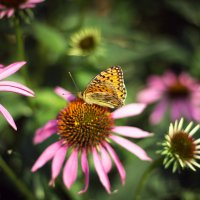 Бабочка на эхинацее :: Ольга Исупова