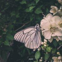 Бабочка :: Станислав Евсеенко