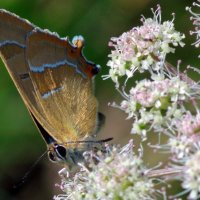 бабочка :: Любовь Овсянкина