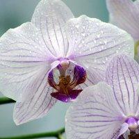 орхидея :: Игорь Kуленко