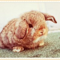minilop baby bunny :: Natalya секрет