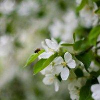 оса летит к яблоньке :: Дарья Тихонова