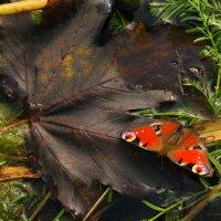 Бабочка :: Юлия Чолак