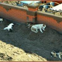 Собачья сиеста :: Александръ Морозовъ