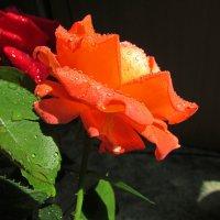 королева цветов :: Marina Timoveewa