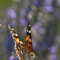 Бабочка :: Александр Земляной