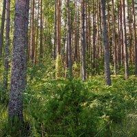 Девственный лес. :: Юрий Шувалов