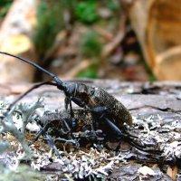 Из жизни жуков-усачей :: Светлана Попова