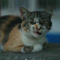 кот зевает :: Виктория Коломиец