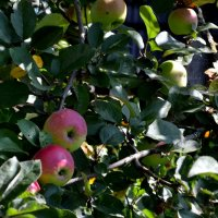 скоро яблочный спас.... :: Владимир Дмитриев