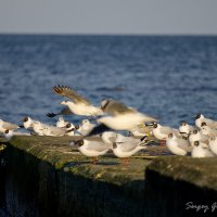 Чайки :: Сергей Гриценко