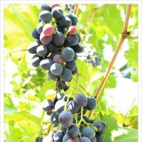Созрел виноград :: Юлия Тарасенко