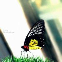 бабочка2 :: Ира Кондрашкова