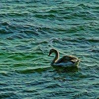 лебедь на море :: Александр Корчемный
