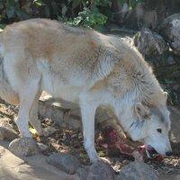 Белый волк обедает :: Дмитрий Солоненко