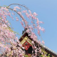 Сакура Храма Kiyomizu Kannondō Токио :: Swetlana V