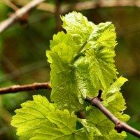Первые виноградные листики :: Светлана