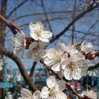 Вот и абрикосы украсил наш апрель... :: Нина Корешкова