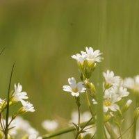 Звездчатка в весеннем поле :: Павел Руденко